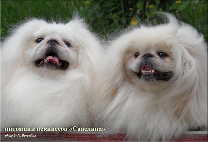 http://savelina-pekines.org/Galereja_big/Angel+Kris.jpg